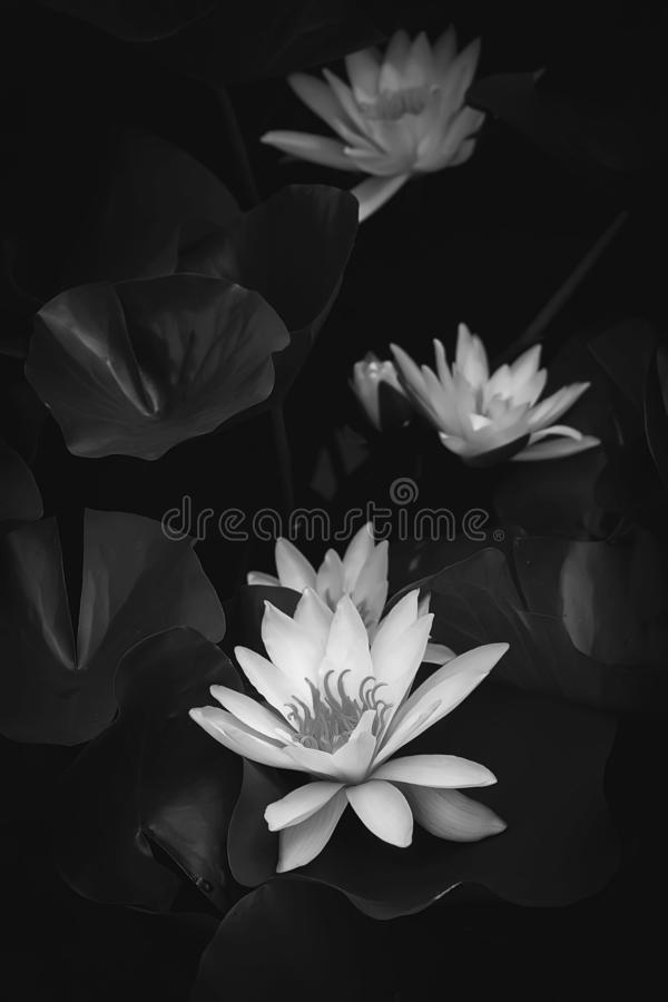 Monochrome water lily against a dark background in the water stock photos