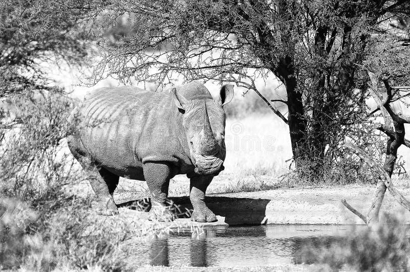 Monochrome white rhino at waterhole. Monochrome white rhino with big horn at a waterhole royalty free stock photos