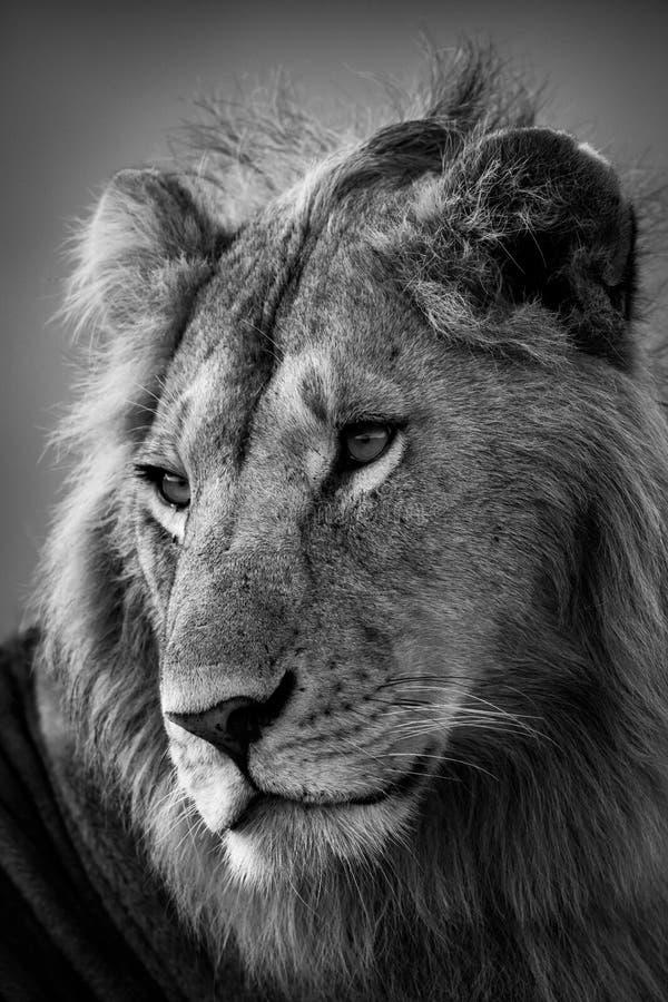 Monoclose-up van mannelijke leeuw met catchlights stock foto