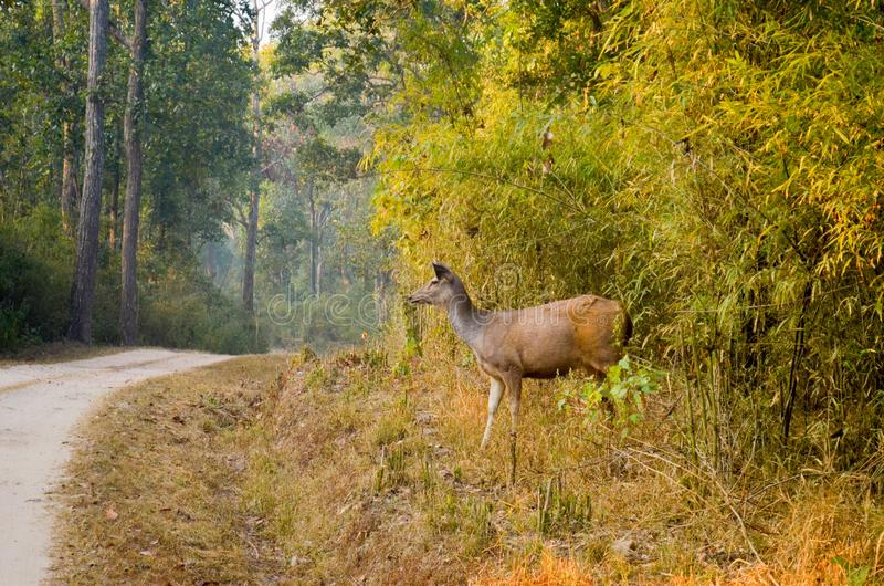 Monocolore dei cervi o di Rusa del Sambar macchiato al parco nazionale di Kanha fotografie stock