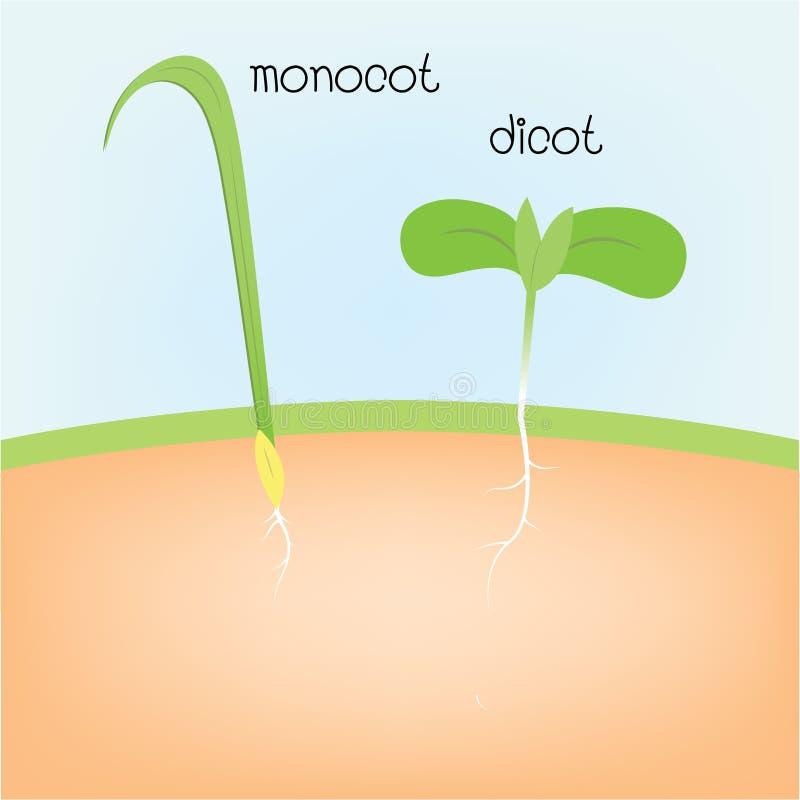 Monocot y dicot ilustración del vector
