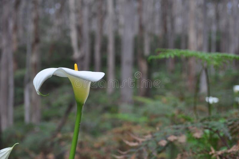 Monocotyledonous Blütenpflanzen Spathiphyllum im Familie Araceae, gebürtig zu den tropischen Regionen des Amerikas und südöstlich lizenzfreies stockfoto