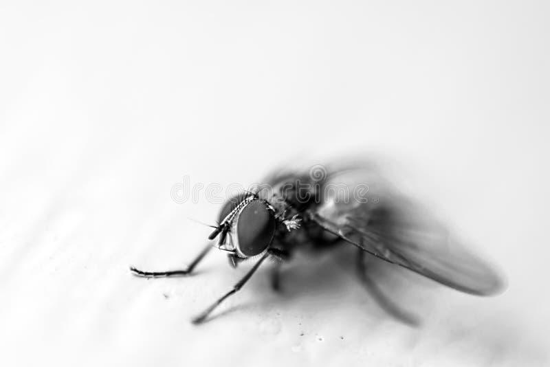 Monocromatic strzał odizolowywający na białym tle makro- komarnica fotografia royalty free