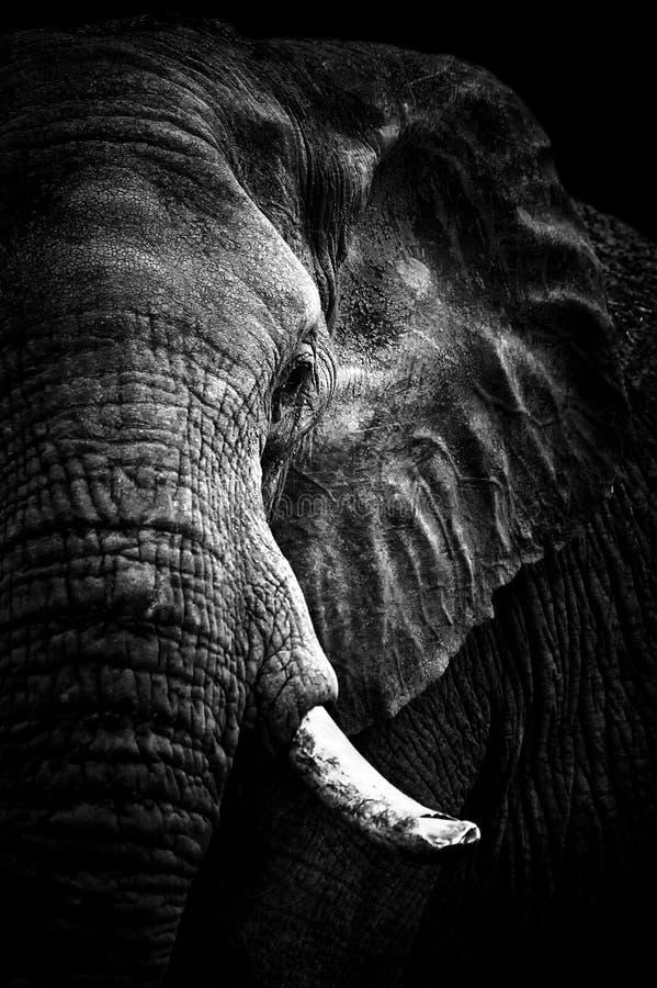 Monocromo del retrato del elefante africano foto de archivo
