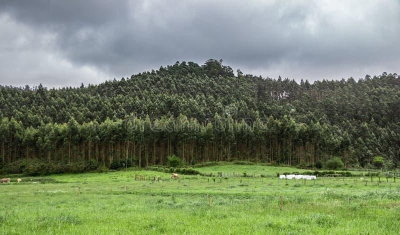 monocultured玉树和草大西洋风景与有些牛 加利西亚,卢戈的风景,在西班牙 免版税库存照片