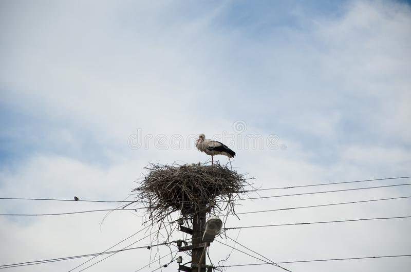 A monogamous breeder. Stork family. Large migratory bird with black and white plumage. Stork in stick nest on electrci pole. White royalty free stock photography
