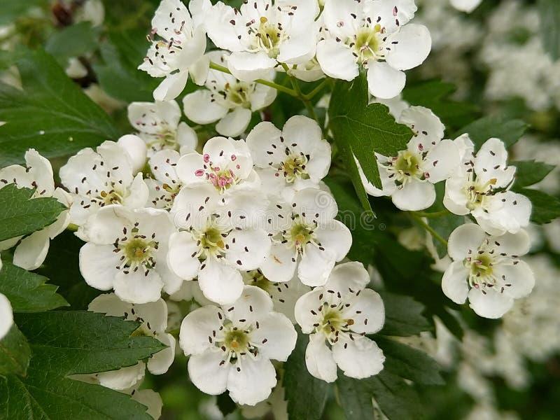 Monogyna боярышника весной стоковые фото