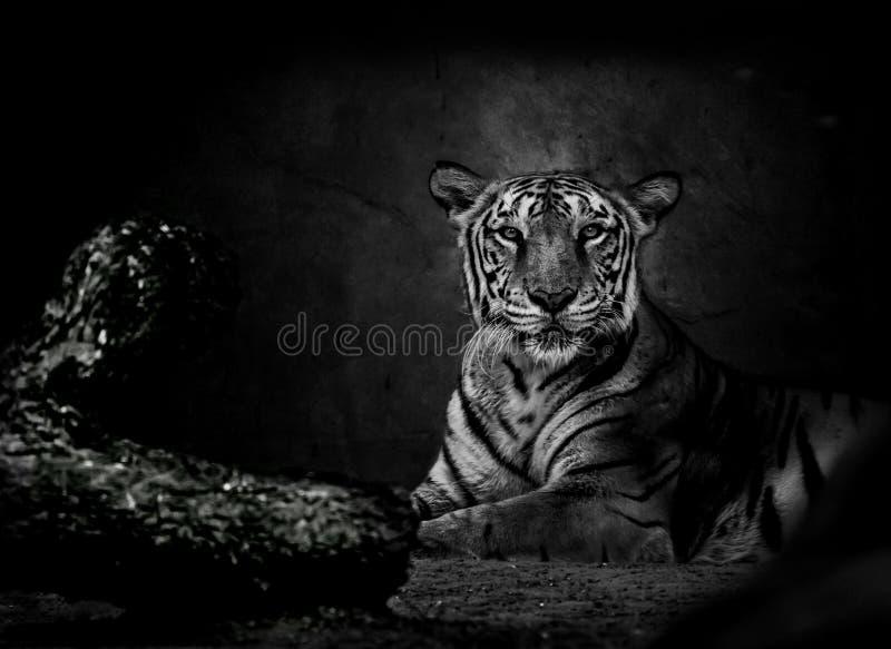 Monokrom bild av den Bengal tigern arkivbild