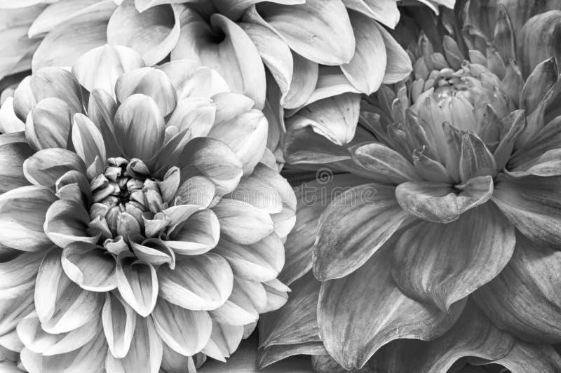 Monokrom bukett av Dahliablommor royaltyfria foton