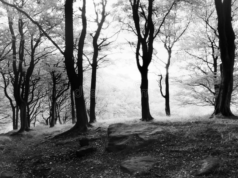 Monokrom dimmig soluppgång för morgonhöstskog i bokträdskogsmark royaltyfri fotografi