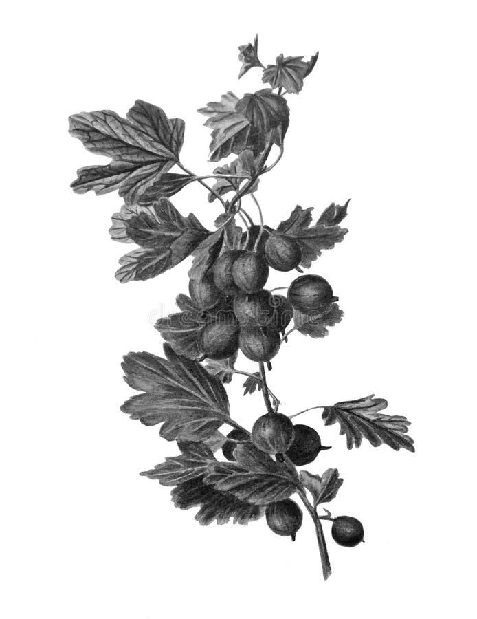 Monokrom härlig vattenfärgkrusbärfilial Hand-dragen växt royaltyfri illustrationer