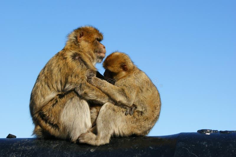 Monos fotos de archivo libres de regalías