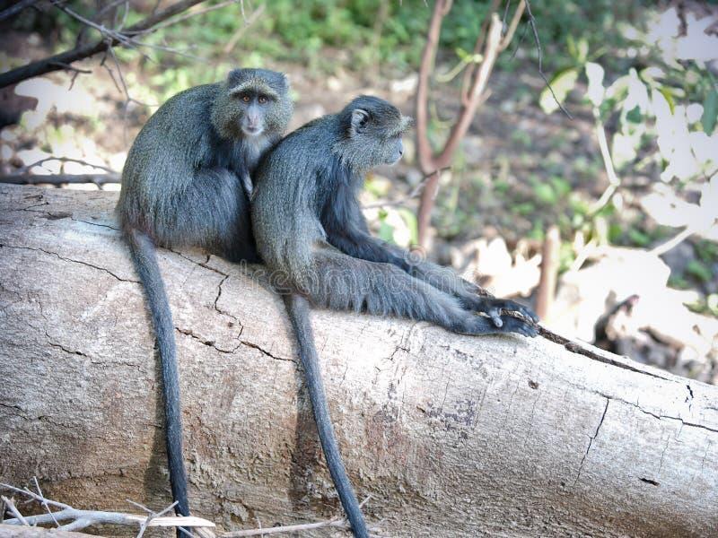 Monos azules imagenes de archivo