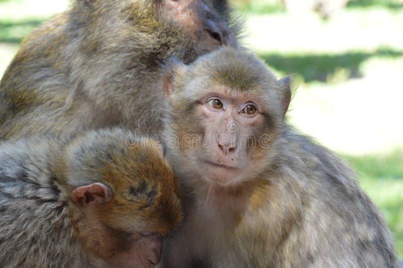 Monos/chamusquinas fotos de archivo libres de regalías