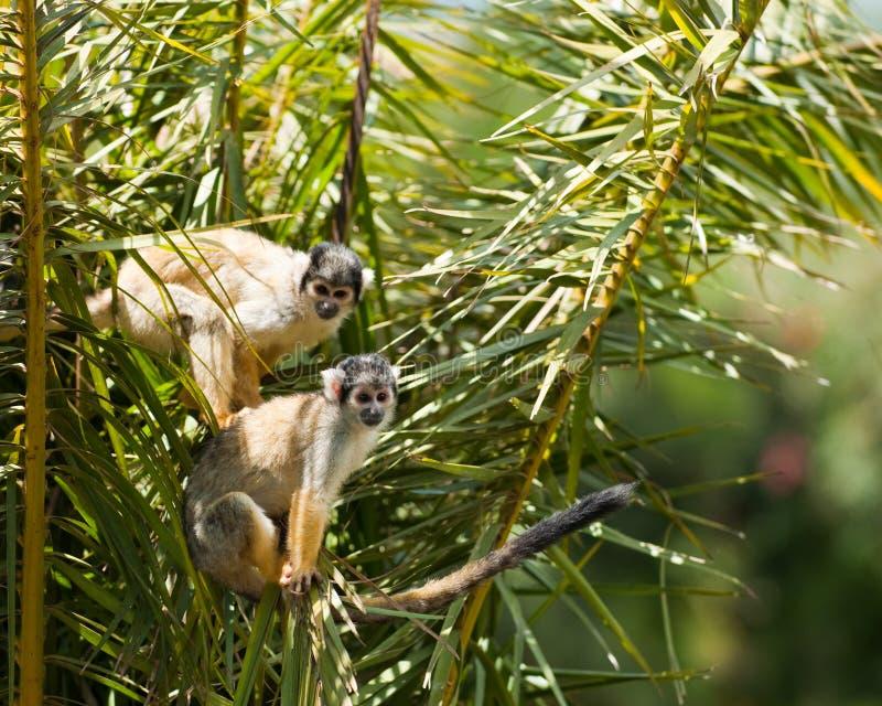 Monos de ardilla foto de archivo