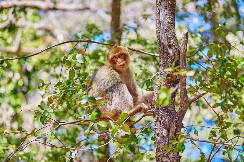 Monos de Barbary en Cedar Forest cerca de Azrou foto de archivo