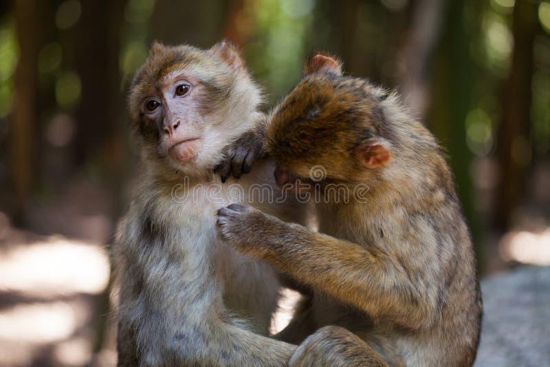 Monos de Barbary que se preparan imagenes de archivo