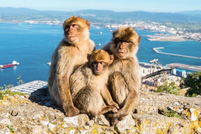 Monos de Gibraltar imagenes de archivo