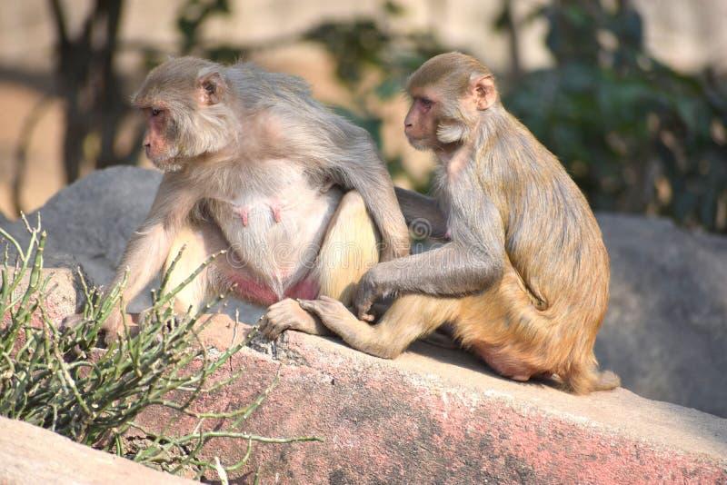 Monos de macaque del macaco de la India que llevan a cabo las manos y sentarse imagen de archivo libre de regalías