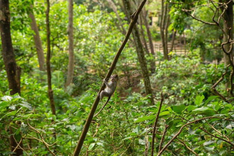 Monos de macaque divertidos en el Mono-bosque fotos de archivo libres de regalías