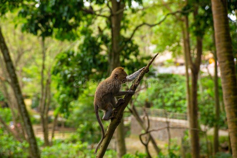 Monos de macaque divertidos en el Mono-bosque fotografía de archivo