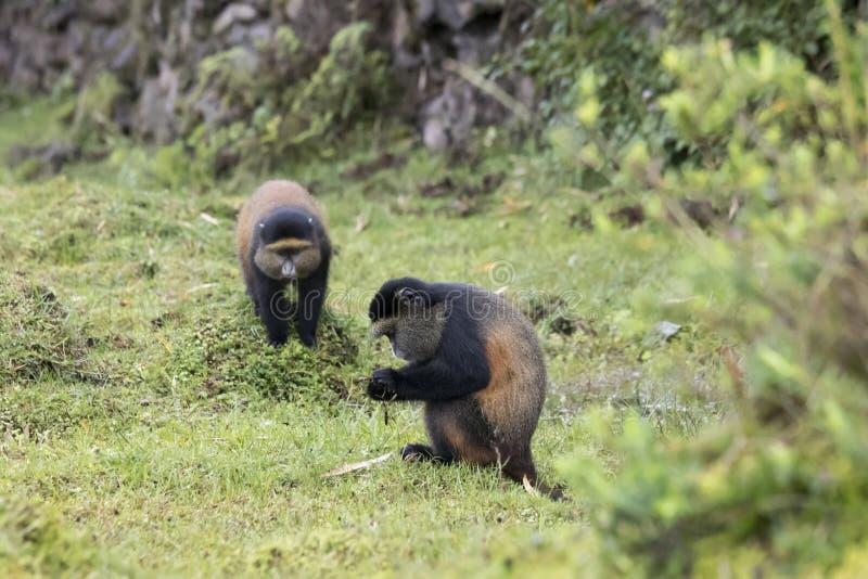 Monos de oro en peligro, volcanes parque nacional, Rwanda foto de archivo
