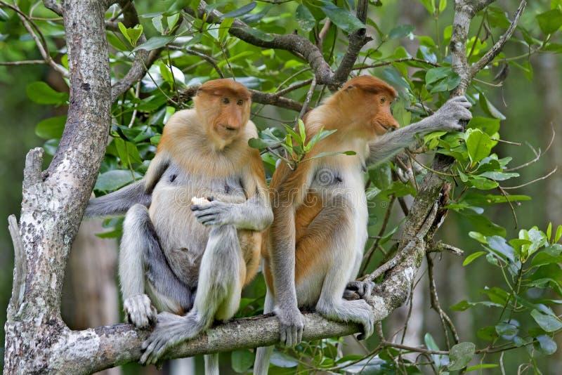 Monos de probóscide fotos de archivo