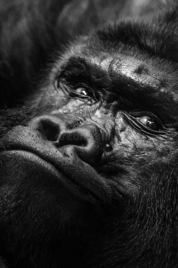 Monos del gorila, cara en la opinión del primer imagenes de archivo