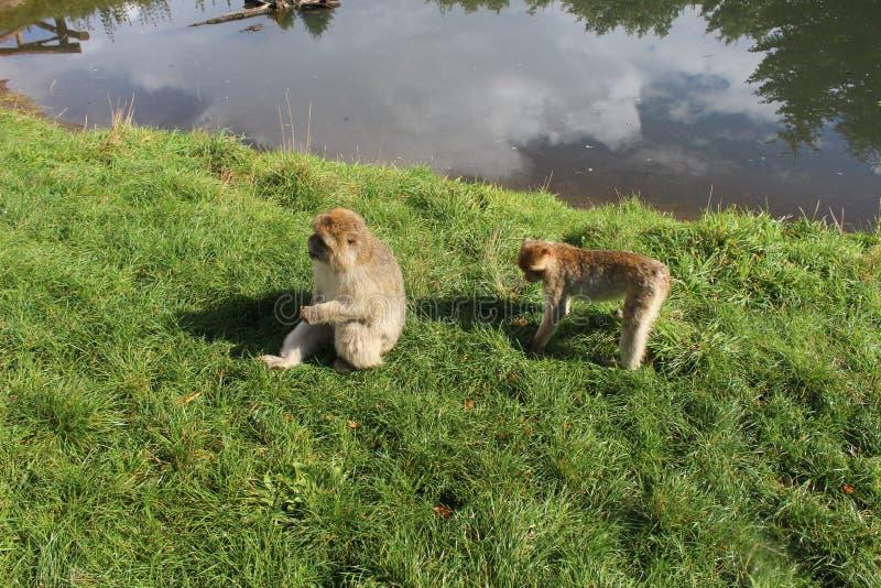 Monos divertidos imagen de archivo libre de regalías