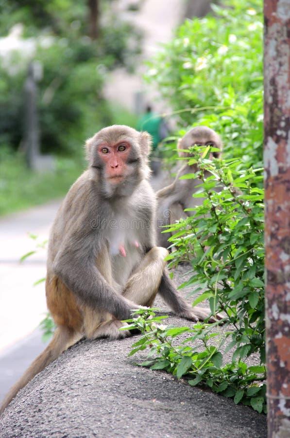 Monos en Hong Kong fotografía de archivo libre de regalías