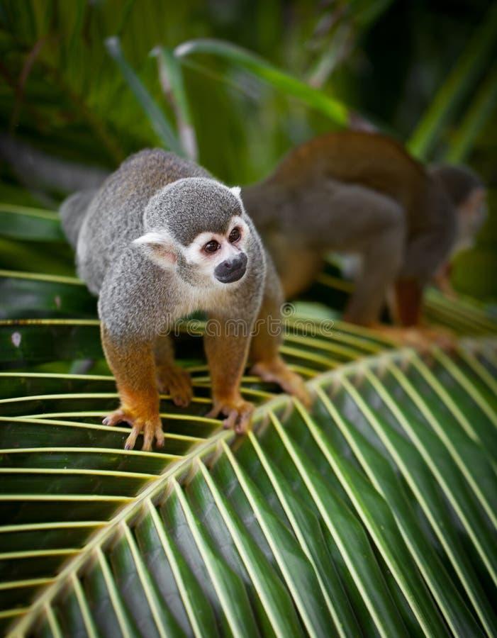 Monos en la palmera fotos de archivo libres de regalías