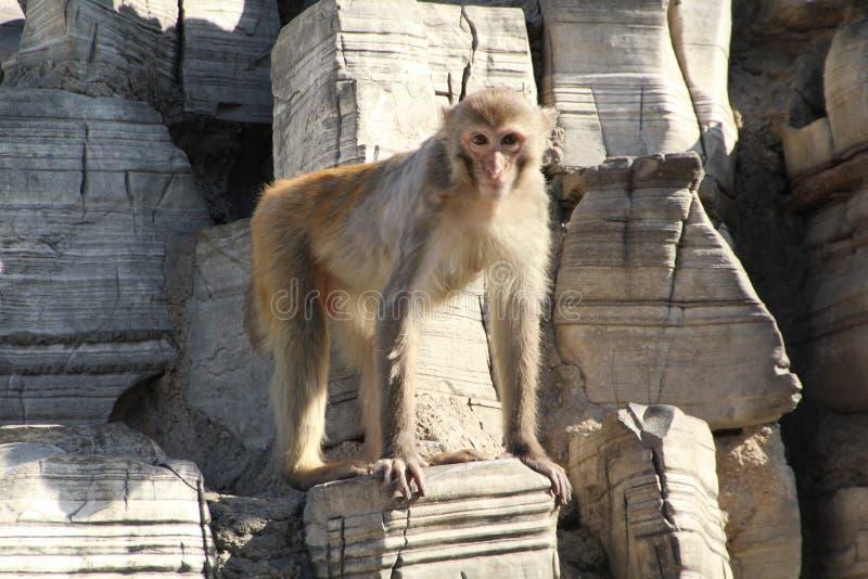 Monos en Stone Mountain imagen de archivo