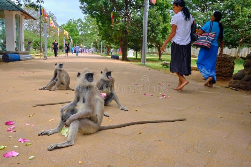 Monos en templo en Sri Lanka foto de archivo libre de regalías