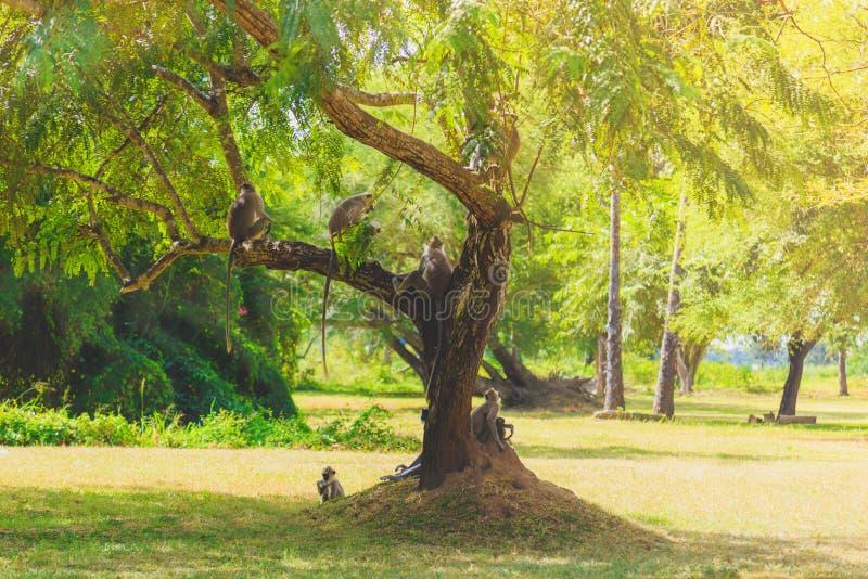 Monos grises que se sientan en un árbol en la selva foto de archivo