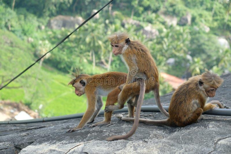 Monos humorísticos en la selva, Asia fotografía de archivo