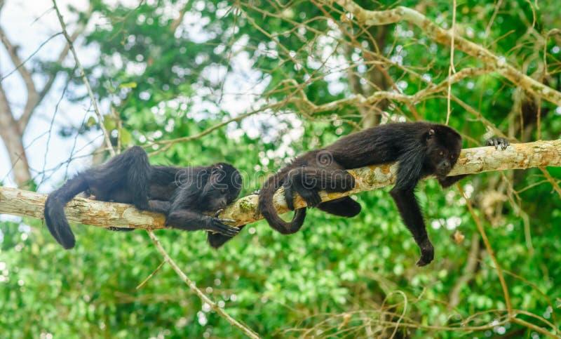 Monos jovenes en un árbol en la selva por Tikal - Guatemala foto de archivo