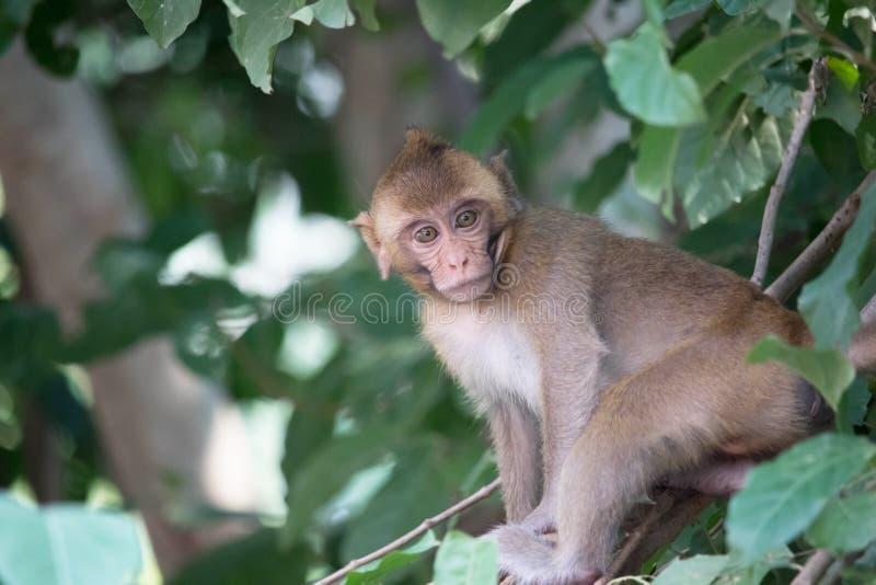 Download Monos lindos imagen de archivo. Imagen de primate, tailandia - 64213383
