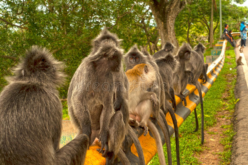 Monos Plata-hojeados en Bukit Melawati, Kuala Selangor, Malasia fotos de archivo