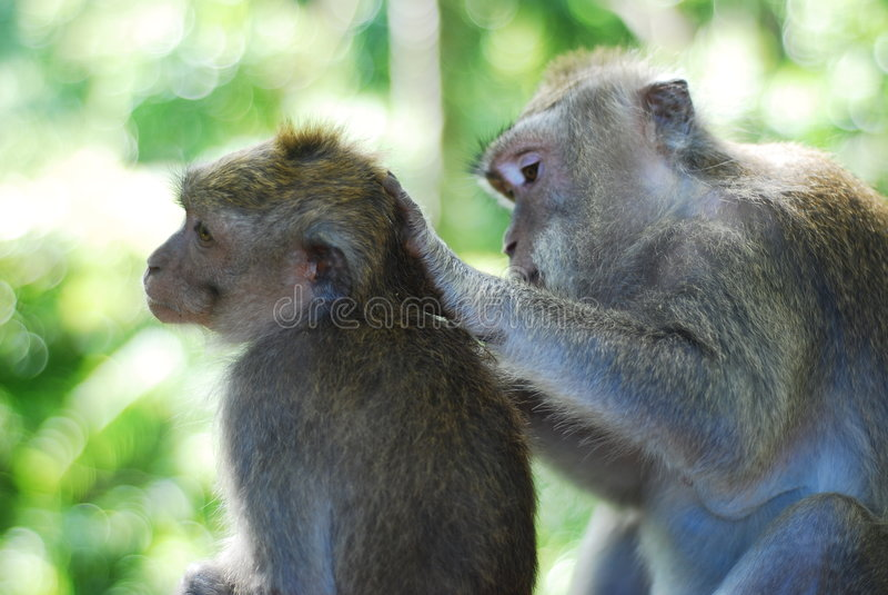 Monos que cuidan foto de archivo libre de regalías