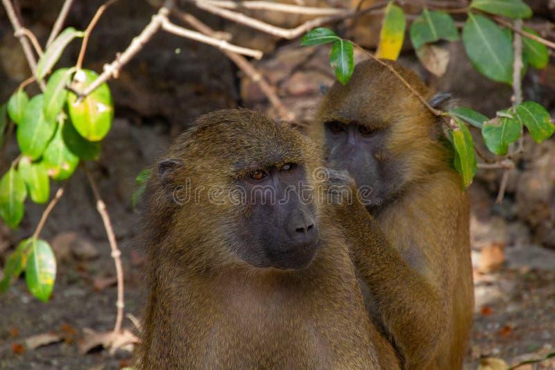 Monos que escogen pulgas fotografía de archivo