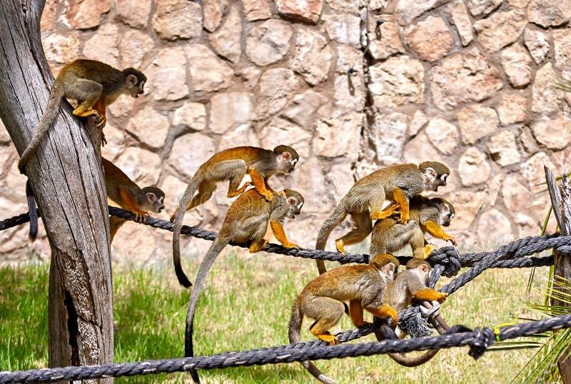 Monos que juegan en la cuerda fotografía de archivo