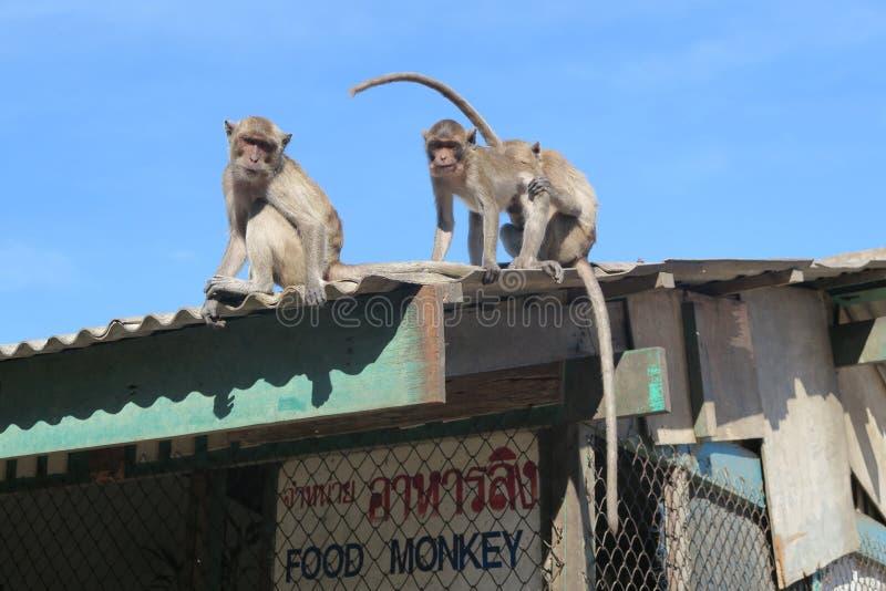 Monos que se sientan en el tejado fotos de archivo