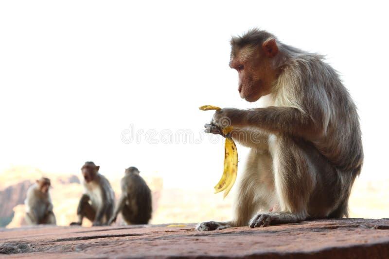 Monos que se sientan en la roca fotografía de archivo libre de regalías