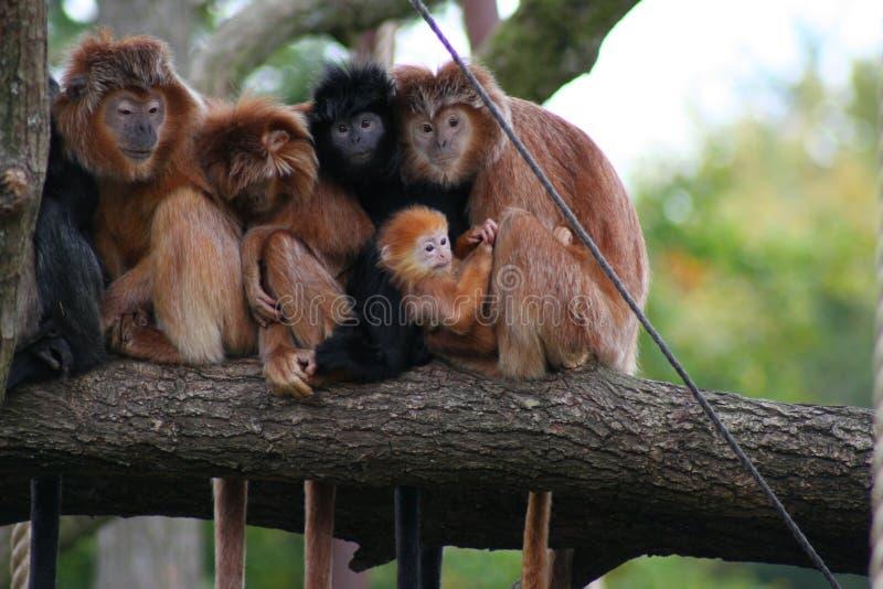Monos que se sientan en una ramificación imagen de archivo