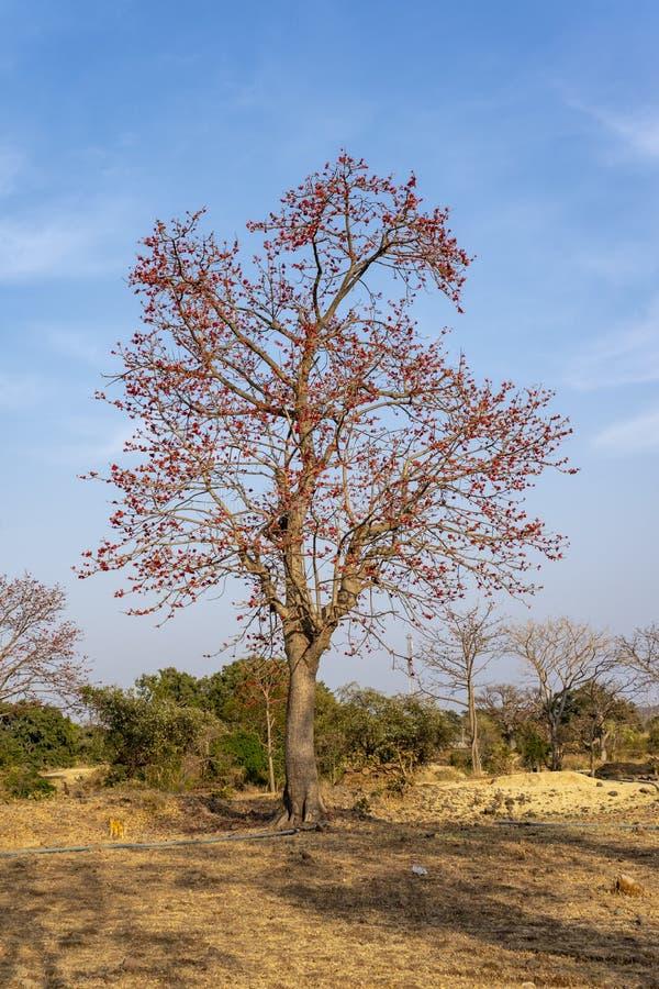 Monosperma de fines herbes de Butea d'arbre de couleur photo libre de droits