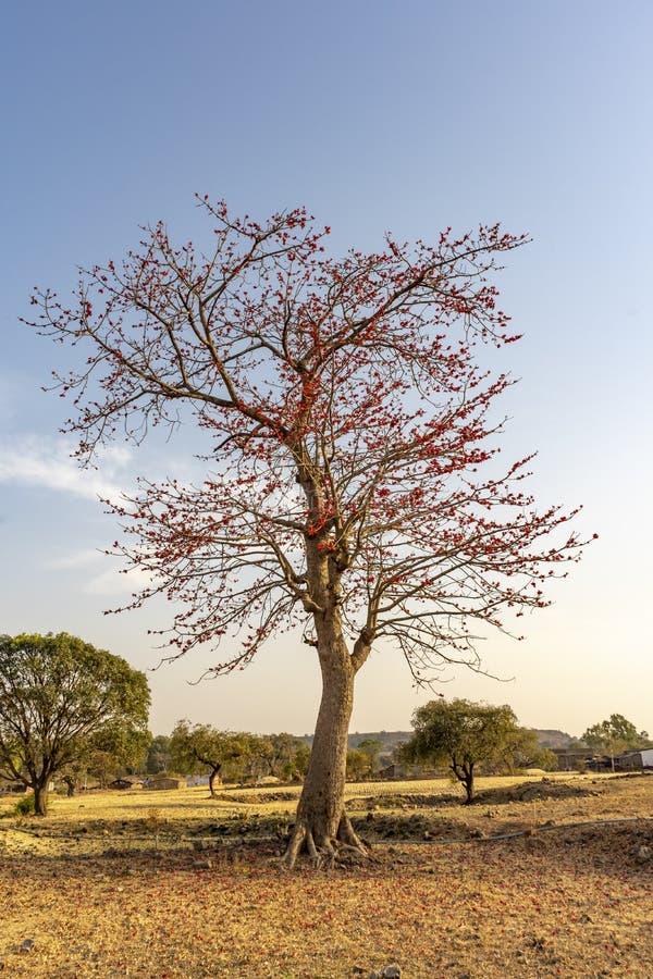 Monosperma de fines herbes de Butea d'arbre de couleur images libres de droits