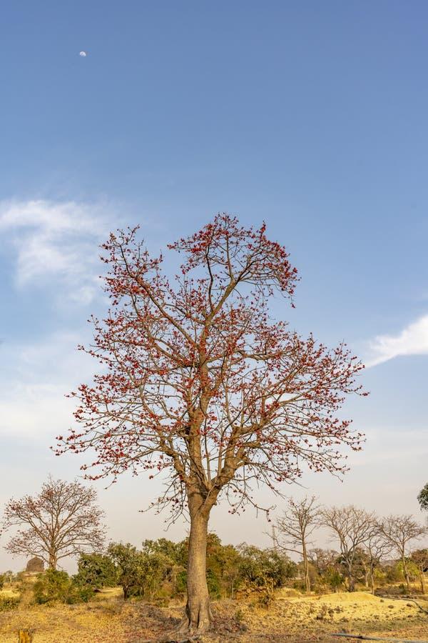 Monosperma de fines herbes de Butea d'arbre de couleur images stock