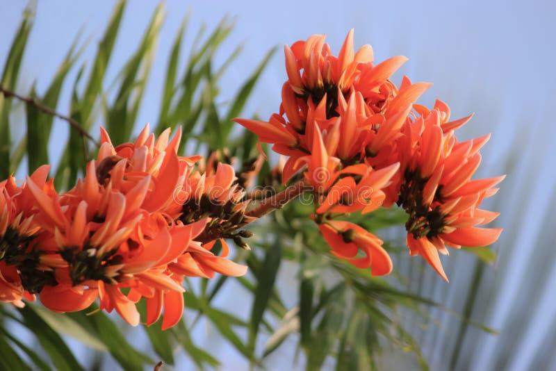 Monosperma frondosa tropical stock photos