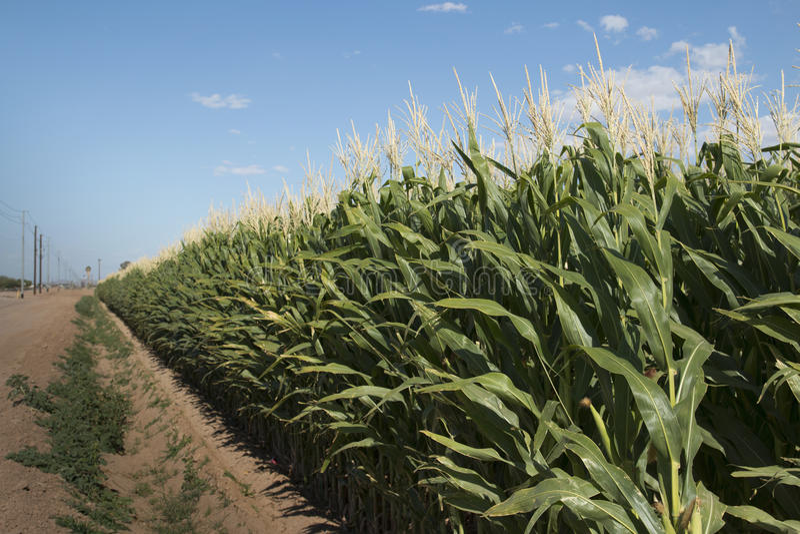 Monsanto GMO Kukurydzany pole obrazy royalty free
