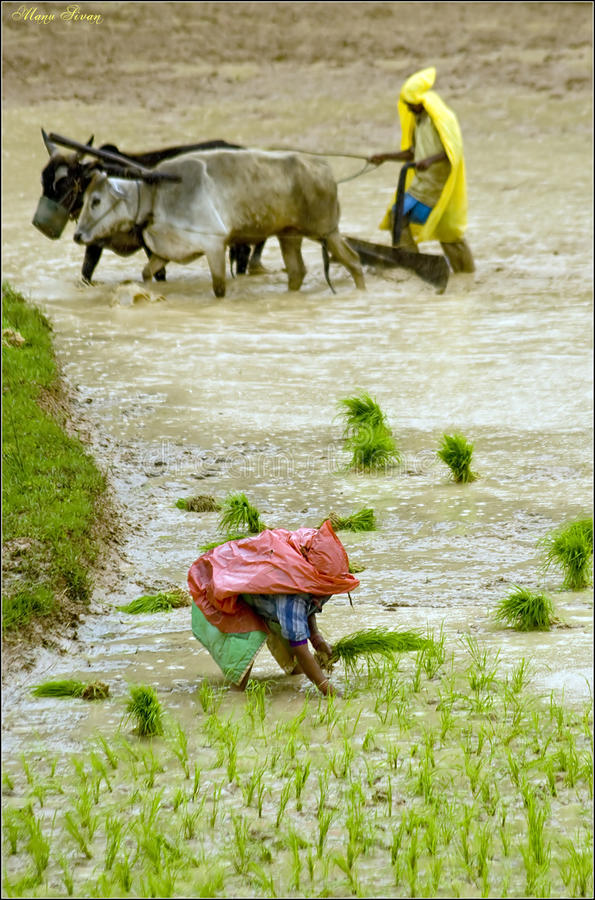 Monsoon Farming. Paddy farming in monsoon season stock photo